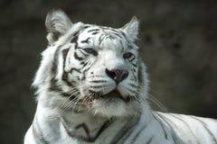 Porträt eines weißen Tigers Stockbilder