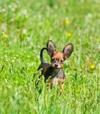 Porträt eines schönen Welpen im grünen Gras Kleiner roter Hund auf der Straße im Sommer Russisches Spielzeug Stockfotografie