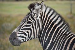 Porträt eines schönen Zebras auf einer Wiese in Südafrika Lizenzfreie Stockbilder