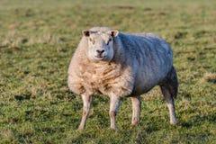 Porträt eines Schafs, das in einer Wiese aufwirft Lizenzfreie Stockbilder