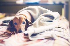 Porträt eines schläfrigen kleinen Hundes auf einem Bett Stockfoto