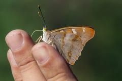 Porträt eines Schmetterlinges Stockbilder