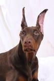 Porträt eines Schokolade Dobermanns Stockfotos