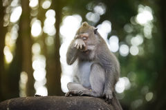 Porträt eines schreienden Affen Stockfotos