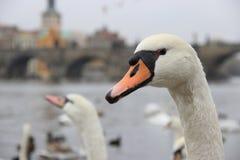 Porträt eines Schwans in Prag Lizenzfreies Stockfoto