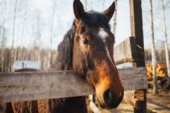 Porträt eines schwarzen Anzugspferds in einem Bauernhofgasthaus stockbild