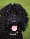 Porträt eines schwarzen Cockapoo-Hundes Lizenzfreie Stockbilder