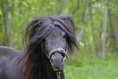 Porträt eines schwarzen die Shetlandinseln-Ponys Lizenzfreie Stockfotografie