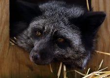 Porträt eines schwarzen Fuchses mit dem Hauptlegen außerhalb eines Kastens Lizenzfreies Stockbild