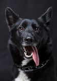 Porträt eines schwarzen Hundes Lizenzfreie Stockfotos