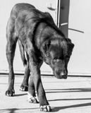 Porträt eines schwarzen Hundes auf der Natur Lizenzfreie Stockfotografie