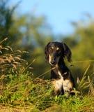 Porträt eines schwarzen Jagdhundes Saluki, das im trockenen Gras sitzt Lizenzfreies Stockbild