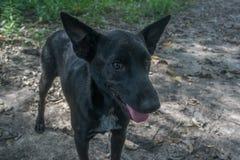 Porträt eines schwarzen thailändischen Hundes Lizenzfreie Stockfotos