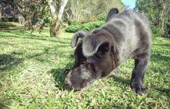 Porträt eines schwarzen Welpen, der auf dem Gras spielt , Stellenfokus, Bild lizenzfreies stockbild