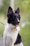 Porträt eines Schwarzweiss-nicht reinrassigen Hundes. Lizenzfreie Stockfotografie