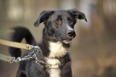 Porträt eines Schwarzweiss-nicht reinrassigen Hundes. Stockbild