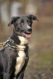 Porträt eines Schwarzweiss-nicht reinrassigen Hundes. Stockfotografie