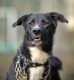 Porträt eines Schwarzweiss-nicht reinrassigen Hundes. Stockfoto
