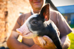 Porträt eines Schweins Lizenzfreies Stockfoto