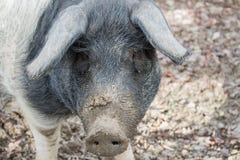 Porträt eines Schweins Stockfoto