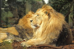 Porträt eines seltenen asiatischen männlichen Löwes im Bristol-Zoo Stockfotografie