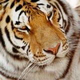 Porträt eines sibirischen Tigers (der Pantheratigris-altaica) Stockfotos