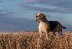 Porträt eines Spürhunds auf einem Frühlingsweg Stockbild