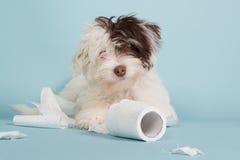 Porträt eines Spekulantenwelpen mit Toilettenpapier Stockfoto