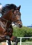 Porträt eines Sportpferds, das durch Hürde auf Hintergrund des blauen Himmels springt Stockfoto