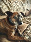 Porträt eines Terriers Lizenzfreie Stockbilder