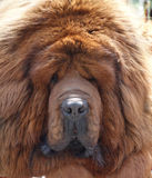 Tibetanischer Mastiff stockbilder