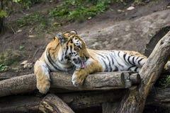 Porträt eines Tigers, der auf einem Baum liegt lizenzfreie stockbilder
