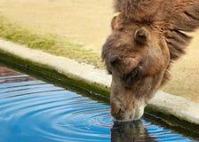 Porträt eines Trinkwassers des Kamels Stockfoto