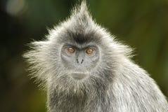 Porträt eines versilberten Blatt-Affen Stockbild