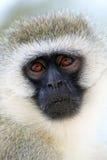 Porträt eines vervet Affen Lizenzfreies Stockfoto