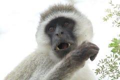 Porträt eines vervet Affen auf einem weißen Hintergrund Stockfotografie