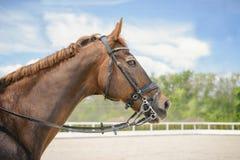 Porträt eines vollblütigen Pferds auf Hintergrund des blauen Himmels Dressurreiten mit schöner brauner Pferdenahaufnahme, Reiters Stockfotos
