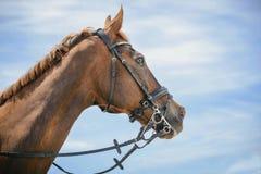 Porträt eines vollblütigen Pferds auf Hintergrund des blauen Himmels Dressurreiten mit schöner brauner Pferdenahaufnahme, Reiters Lizenzfreie Stockfotos