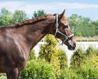Porträt eines vollblütigen Pferds auf Hintergrund des blauen Himmels Dressurreiten mit schöner brauner Pferdenahaufnahme, Reiters Lizenzfreie Stockfotografie