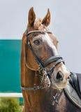 Porträt eines vollblütigen Pferds auf Hintergrund des blauen Himmels Dressurreiten mit schöner brauner Pferdenahaufnahme, Reiters Stockbilder
