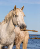 Porträt eines weißen Camargue-Pferds mit einem Stock in seinem Mund Lustige Abbildung Parc Regional de Camargue frankreich Proven Lizenzfreies Stockfoto
