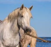 Porträt eines weißen Camargue-Pferds mit einem Stock in seinem Mund Lustige Abbildung Parc Regional de Camargue frankreich Proven Lizenzfreies Stockbild