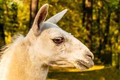 Porträt eines weißen domestizierten Lamas auf dem Bauernhof stockfotos