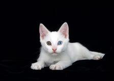 Porträt eines weißen Kätzchens mit Heterochromia mustert schwarzen Hintergrund Lizenzfreies Stockbild
