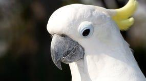 Porträt eines weißen Papageien mit einem gelben Büschel Stockfoto