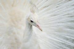 Porträt eines weißen Pfaus lizenzfreie stockfotos