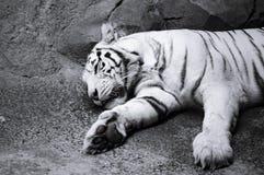 Porträt eines weißen Tigers lizenzfreie stockfotos