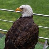 Porträt eines Weißkopfseeadlers innerhalb des Fußball-Stadions Stockfotografie