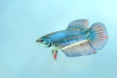 Porträt eines weiblichen kämpfenden Fisches Lizenzfreie Stockfotografie