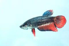 Porträt eines weiblichen kämpfenden Fisches Lizenzfreie Stockbilder